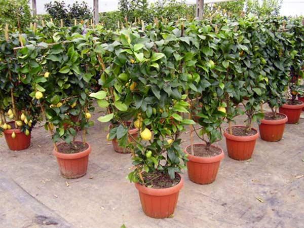 Alberi da frutto modena carpi piante da giardino vaso resistenti ulivi viti - Alberi da giardino consigli ...