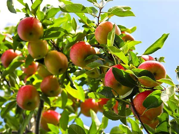 Alberi da frutto modena carpi piante da giardino vaso for Alberi da frutto in vaso
