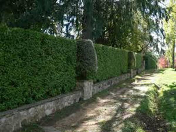 Piante da siepe carpi reggio emilia arbusti sempreverdi for Siepe di alloro