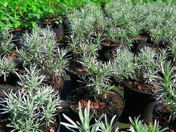 Piante Aromatiche Perenni Elenco : Piante aromatiche carpi reggio emilia vendita erbe