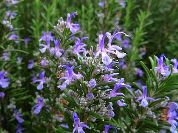 Piante Aromatiche Perenni : Piante aromatiche carpi reggio emilia vendita erbe
