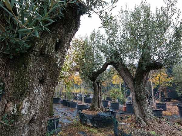 Alberi da frutta in giardino idee per la casa for Alberi frutta vendita