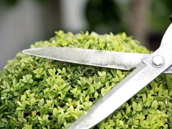 Arte-nel-potare-piante-di-olivo-Reggio-Emilia