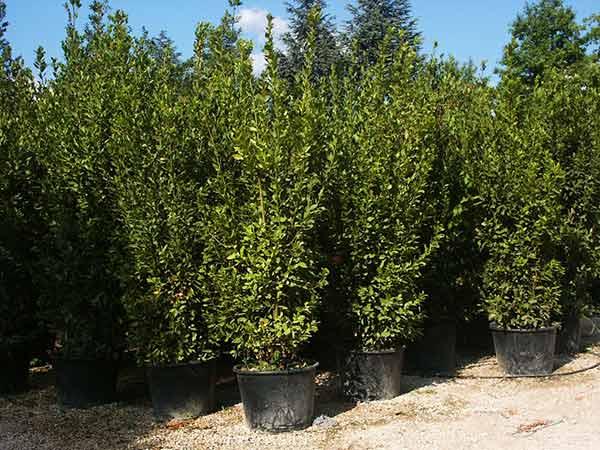 Piante da siepe carpi reggio emilia arbusti sempreverdi alloro da giardino recinzione - Arbusti sempreverdi da giardino ...
