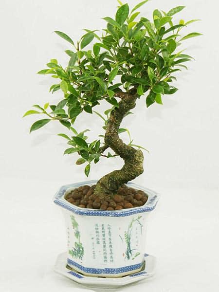 Fiorista-con-bonsai-in-vaso-Reggio-Emilia