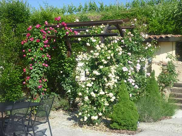 Piante rampicanti rubiera reggio emilia sempreverdi for Pianta da terrazzo