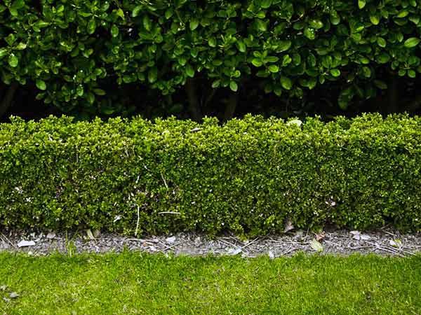 Prezzo-piante-da-siepe-per-giardino-Reggio-Emilia