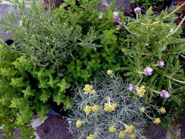 Piante aromatiche carpi reggio emilia vendita erbe for Piante acquisto