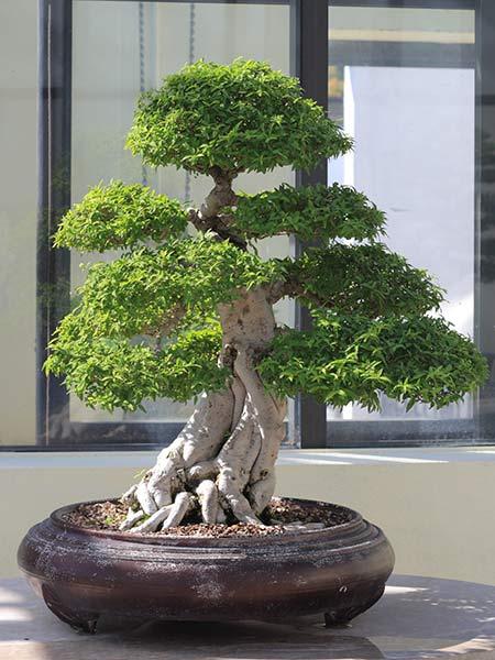 Sun-Garden-produzione-bonsai-Correggio